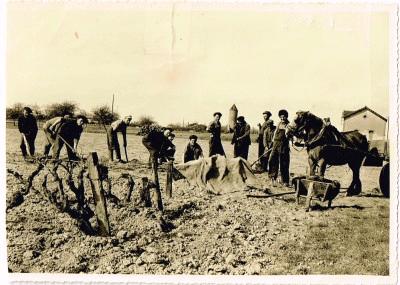 Plantation-vignes-1950