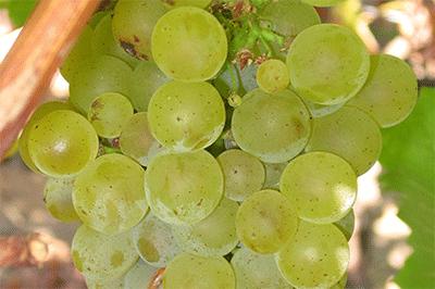 Sauvignon_blanc_grappe