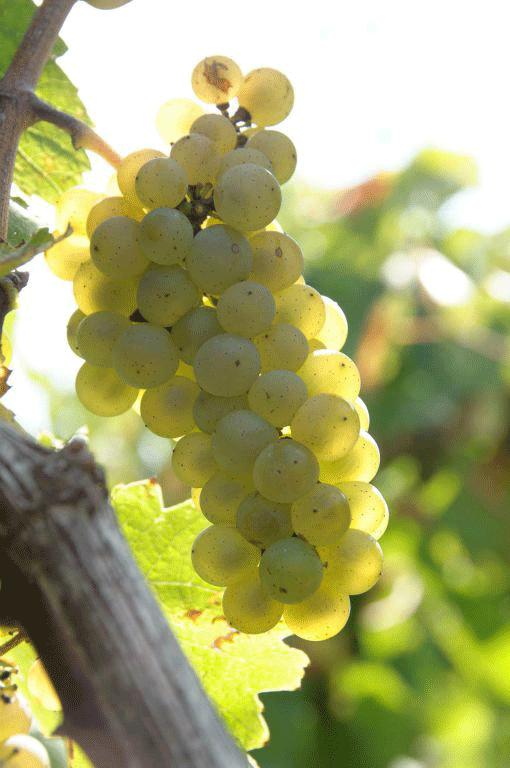 Melon-de-Bourgogne
